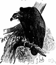 black vulture - of southern Eurasia and northern Africa