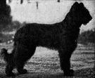 Briard - old French breed of large strong usually black dogs having a long tail and long wavy and slightly stiff coat
