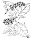 Prunus virginiana demissa - chokecherry of western United States