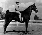 Plantation walking horse - a horse marked by stamina and trained to move at a fast running walk