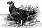 moor-bird - reddish-brown grouse of upland moors of Great Britain