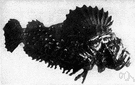 scorpionfish - marine fishes having a tapering body with an armored head and venomous spines