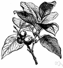 garcinia - evergreen trees and shrubs: mangosteens