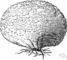 false truffle - any of various fungi of the genus Scleroderma having hard-skinned subterranean fruiting bodies resembling truffles
