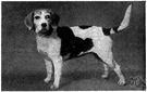 beagle - a small short-legged smooth-coated breed of hound