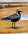 plover - any of numerous chiefly shorebirds of relatively compact build having straight bills and large pointed wings