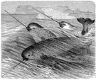 narwhal - small Arctic whale the male having a long spiral ivory tusk