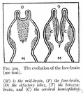 forebrain - the anterior portion of the brain