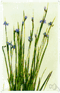 blue-eyed grass - plant with grasslike foliage and delicate blue flowers