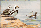 Clangula hyemalis - a common long-tailed sea duck of the northern parts of the United States