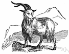 domestic goat - any of various breeds of goat raised for milk or meat or wool