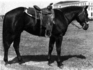 quarter horse - a small powerful horse originally bred for sprinting in quarter-mile races in Virginia