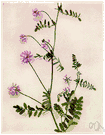 axseed - European herb resembling vetch