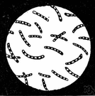 bacteria - (microbiology) single-celled or noncellular spherical or spiral or rod-shaped organisms lacking chlorophyll that reproduce by fission