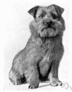 Norwich terrier - English breed of small short-legged terrier with a straight wiry red or grey or black-and-tan coat and erect ears