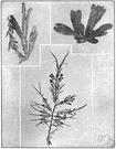 tang - brown algae seaweed with serrated edges