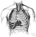 area of cardiac dullness - a triangular area of the front of the chest (determined by percussion)