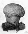 Calvatia - genus of puffballs having outer casings whose upper parts break at maturity into angular pieces to expose the spores