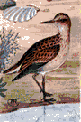 pectoral sandpiper - American sandpiper that inflates its chest when courting