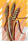 cereal grass - grass whose starchy grains are used as food: wheat