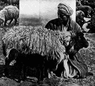 Persian lamb - the fur of a karakul lamb