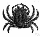 genus Maja - type genus of the Majidae