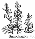 snapdragon - a garden plant of the genus Antirrhinum having showy white or yellow or crimson flowers resembling the face of a dragon