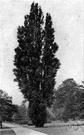 Lombardy poplar - distinguished by its columnar fastigiate shape and erect branches