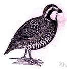 bobwhite - a popular North American game bird