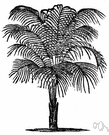 feather palm - palm having pinnate or featherlike leaves