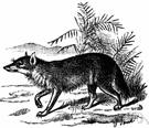 genus Cuon - Asiatic wild dog