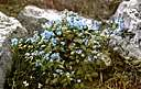 cape forget-me-not - anchusa of southern Africa having blue flowers with white throats