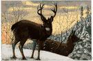 blacktail deer - mule deer of western Rocky Mountains