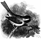 black-capped chickadee - chickadee having a dark crown