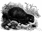 Erinaceus europeaeus - small nocturnal Old World mammal covered with both hair and protective spines