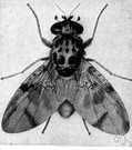 Ceratitis capitata - small black-and-white fly that damages citrus and other fruits by implanting eggs that hatch inside the fruit