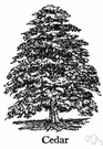 cedar tree - any of numerous trees of the family Cupressaceae that resemble cedars