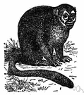 douroucouli - nocturnal monkey of Central America and South America with large eyes and thick fur