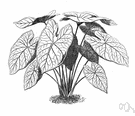 caladium - any plant of the genus Caladium cultivated for their ornamental foliage variously patterned in white or pink or red