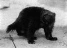 wolverine - musteline mammal of northern Eurasia
