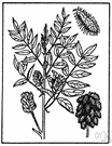 Wild licorice - North American plant similar to true licorice and having a root with similar properties