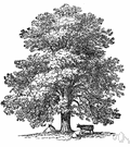 oriental plane - large tree of southeastern Europe to Asia Minor