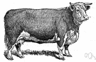 whiteface - hardy English breed of dairy cattle raised extensively in United States