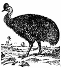 cassowary - large black flightless bird of Australia and New Guinea having a horny head crest