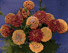 Tagetes patula - strong-scented bushy annual with orange or yellow flower heads marked with red