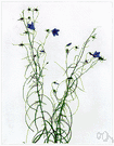Campanula rotundifolia - perennial of northern hemisphere with slender stems and bell-shaped blue flowers