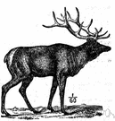 Cervus - the type genus of the Cervidae