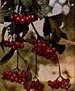 Viburnum trilobum - deciduous North American shrub or small tree having three-lobed leaves and red berries