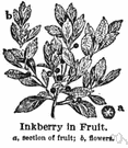 inkberry - evergreen holly of eastern North America with oblong leathery leaves and small black berries