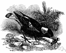 Piping crow - crow-sized black-and-white bird